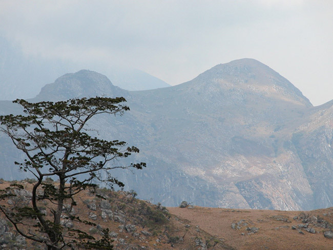Mulanje Cedar with a view across Mulanje Mountain in southern Malawi.