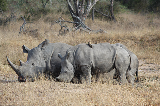Southern white rhinoceros (Ceratotherium simum simum) in Kruger National Park, South Africa.